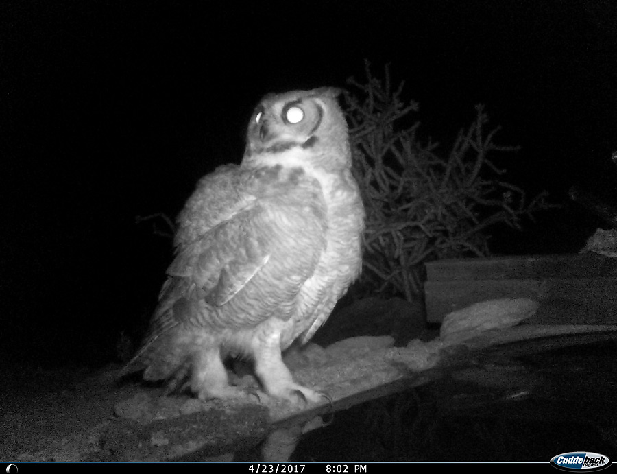 Great Horned Owl. Nightly visitor towards the end.