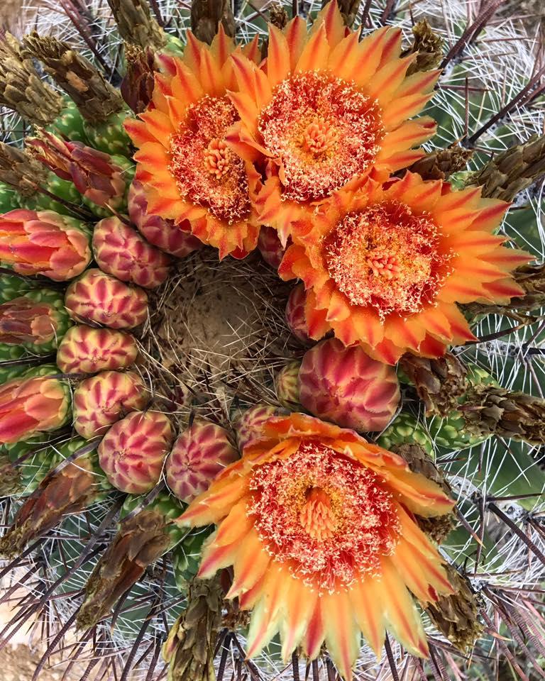 Wildflowers on a barrel cactus, Tucson, Arizona.
