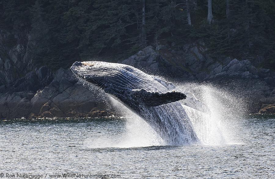 Humpback whale, Tongass National Forest, Alaska.