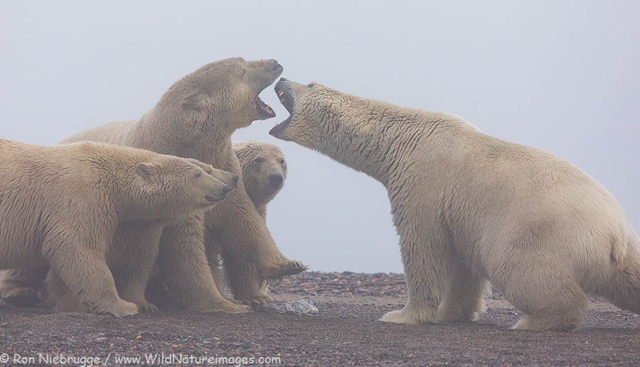 Polar bears battle over whale blubber.