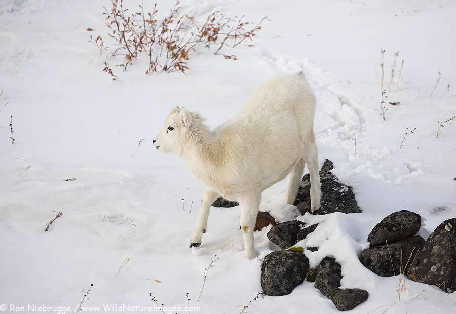Dall Sheep Lamb.