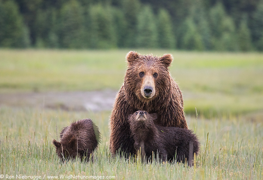 Brown bear family, Alaska.