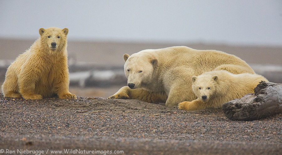 Polar bear sow with two cubs.