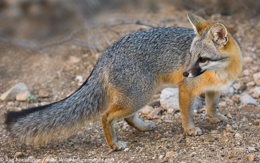 Gray fox, near Tucson, Arizona.