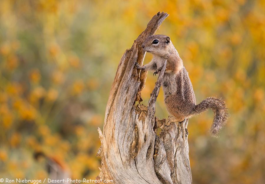 Harris Antelope Ground Squirrel.