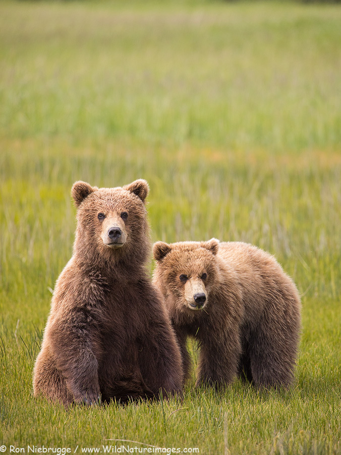 Brown bear cubs, Lake Clark National Park, Alaska.