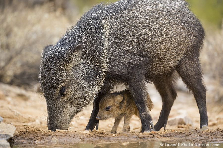 Javelina mom with young, Desert Photo Retreat, near Tucson, Arizona.