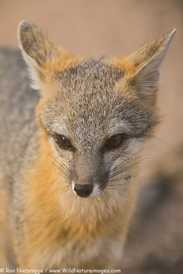 Gray fox, Desert Photo Retreat, Arizona.