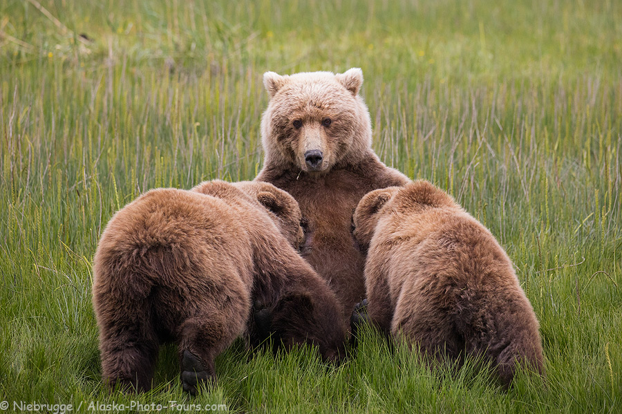 Nursing brown bear cubs, Lake Clark National Park, Alaska.