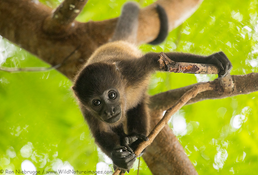 Howler monkey in Costa Rica.