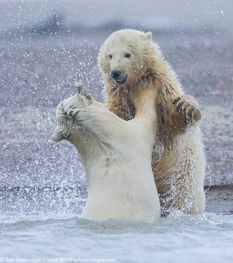 Polar bears playing in Alaska.