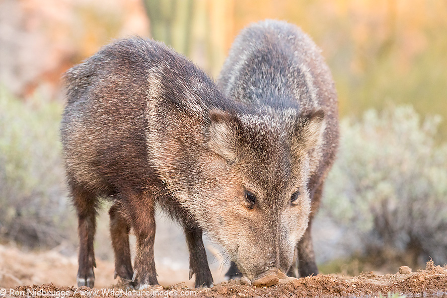 Javelina - two bodies one head?