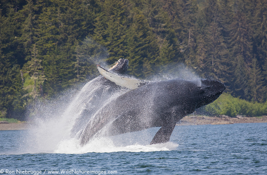 Double humpback breech - Southeast Alaska.