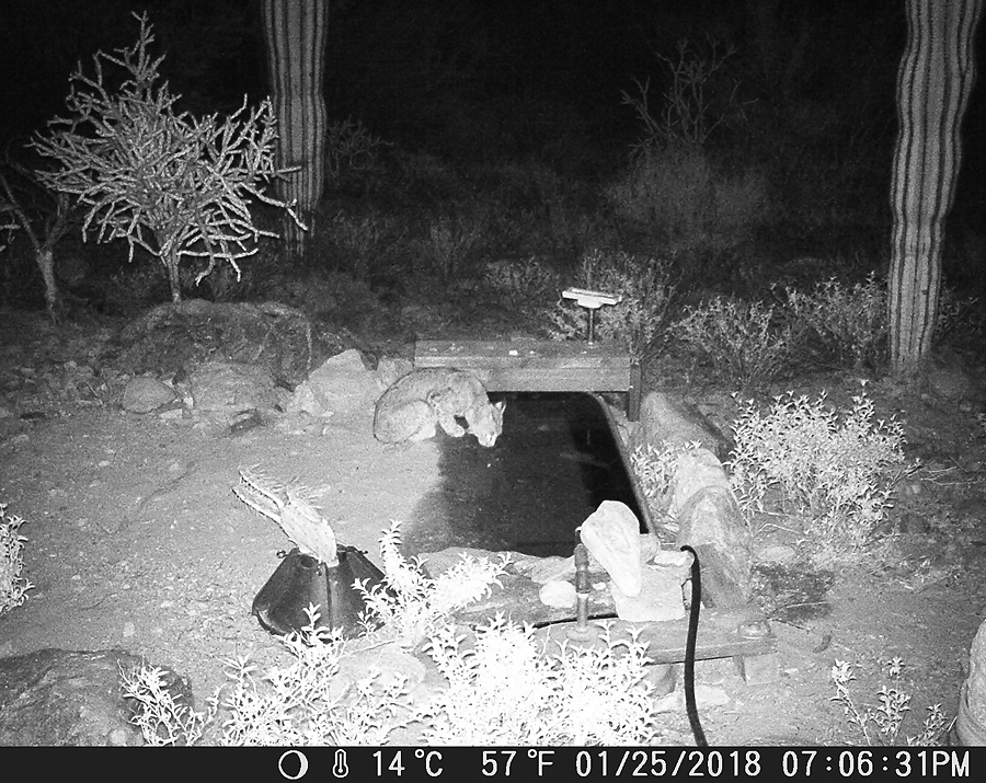 Bobcat last night at the Desert Photo Retreat, near Tucson, Arizona.
