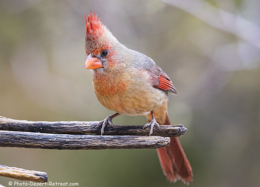 Female cardinal, near Tucson.