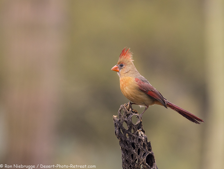 Northern Cardinal.