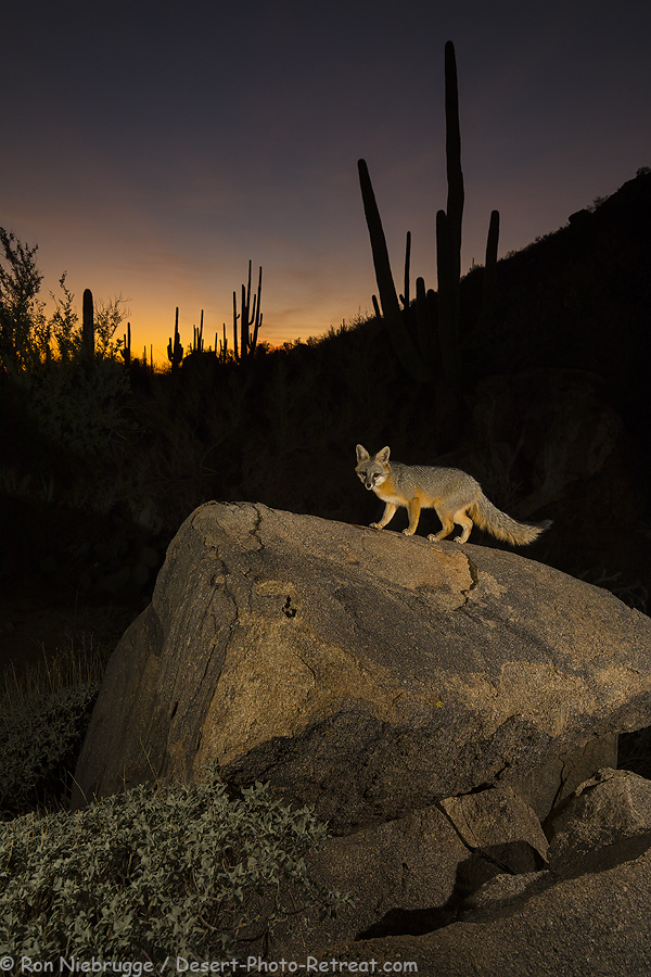 Gray Fox near Tucson, Arizona.