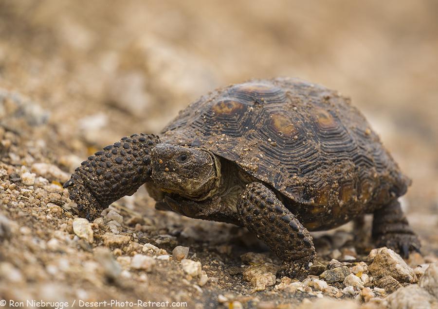 Sonoran Desert Tortoise.