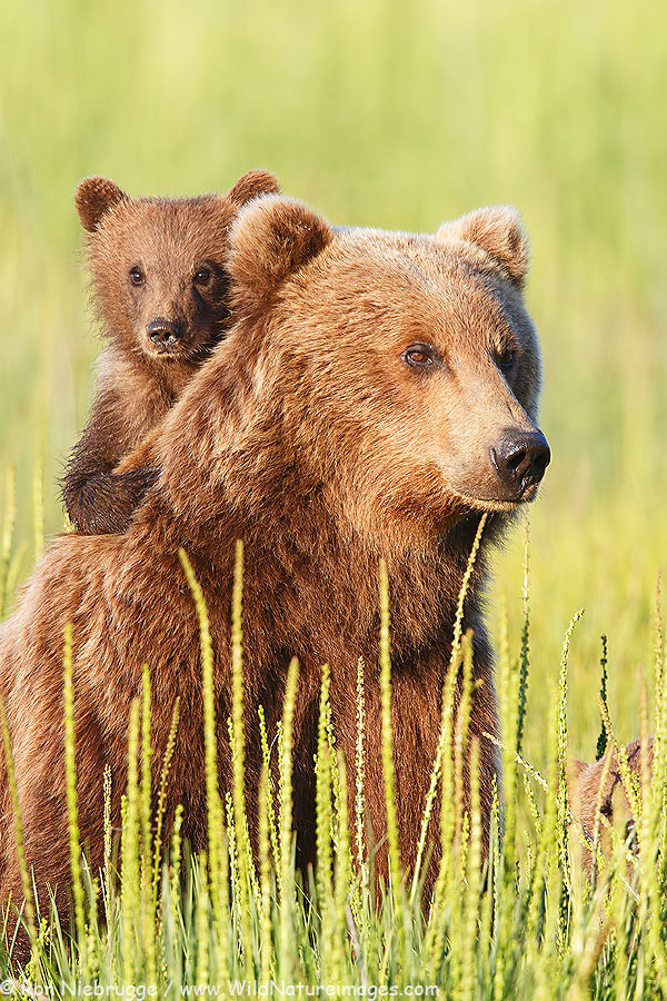 A brown bear sow and cub from my Alaska Brown Bear Photo Tour.