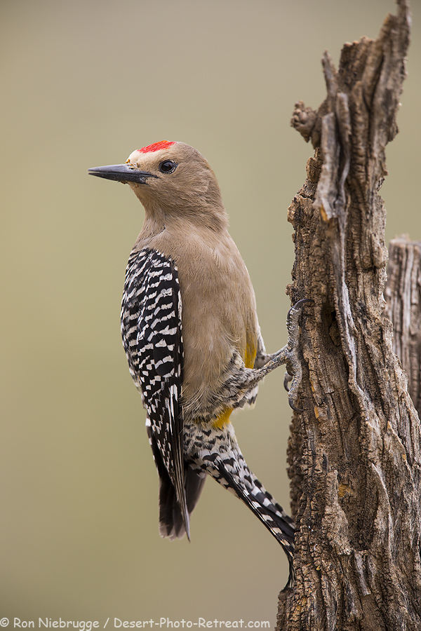 Gila Woodpecker.