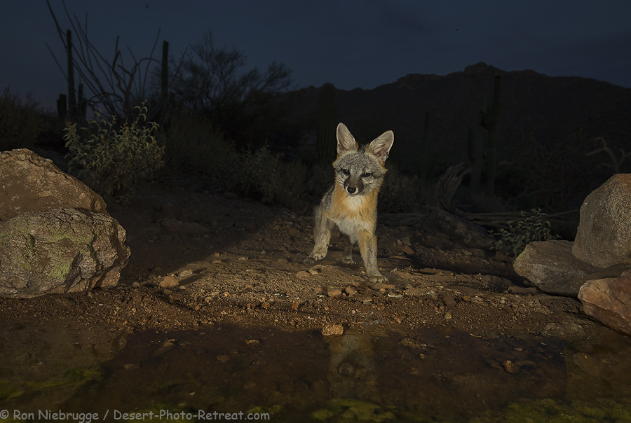 Gray fox at the waterhole at the upper blind.