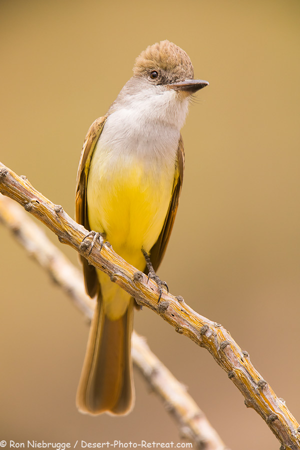 Ash-throated Flycatcher.