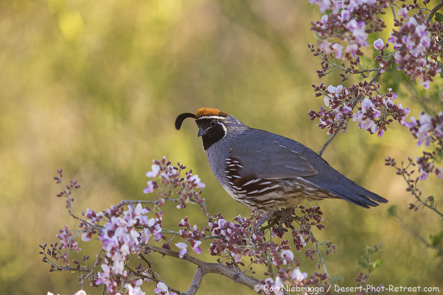 A Gambel's Quail in an Ironwood.