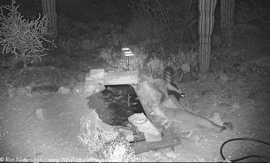 The Gray Fox and Striped Skunk are frequent nightly visitors, often at the same time.