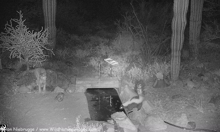 Bobcat and Striped Skunk visiting the water hole at the same time.