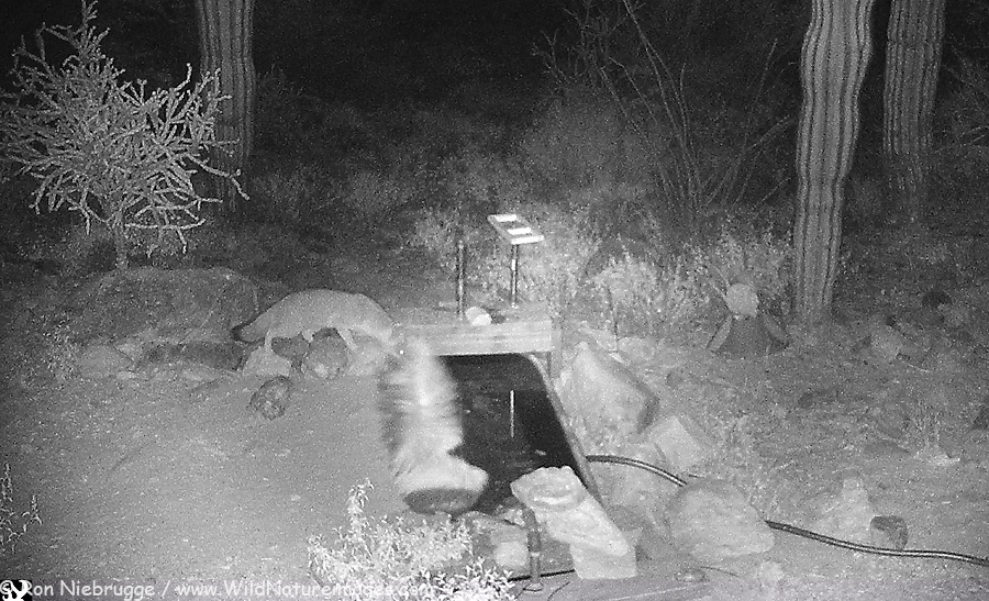 Gray Fox and Hooded Skunk drinking water at the same time.
