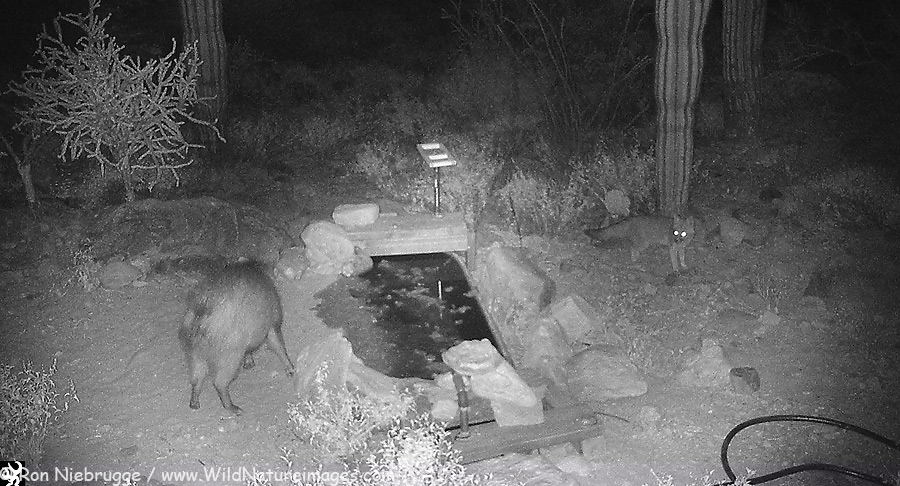 Gray Fox and Javelina. This javelina eventually jumped over the water and chased the fox. The fox was nu-phased and circled back around for a drink. The fox will kill javelina young.