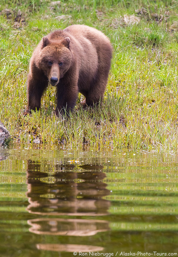 Brown bear, Inside Passage, Alaska.
