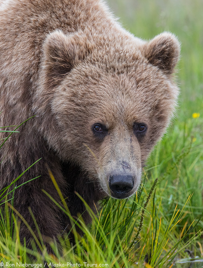 Brown bear up close!  Lake Clark National Park, Alaska.