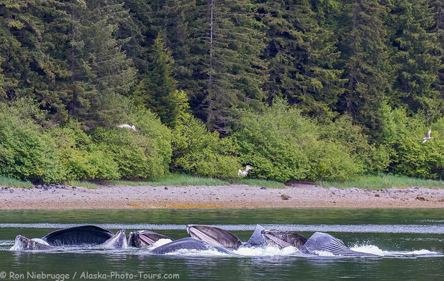 Humpback whales bubble net feeding.