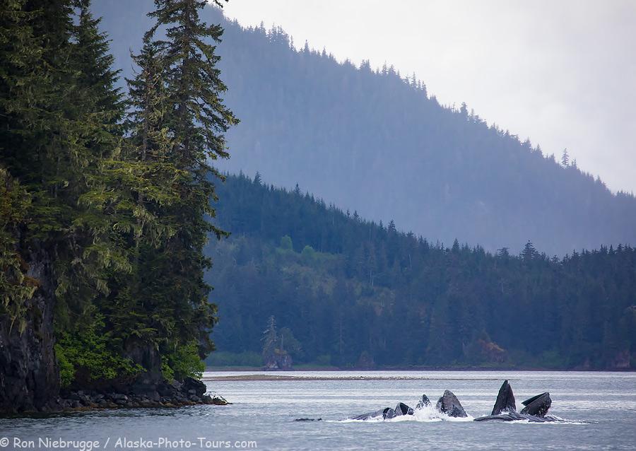 Bubblenet feeding humpback whales, Southeast, Alaska.