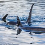 Orcas