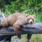 Resting Brown Bear