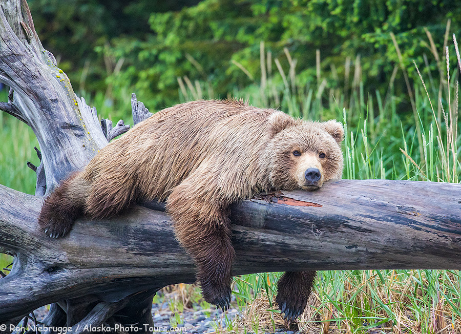 Brown bear taking a break, Lake Clark National Park, Alaska.