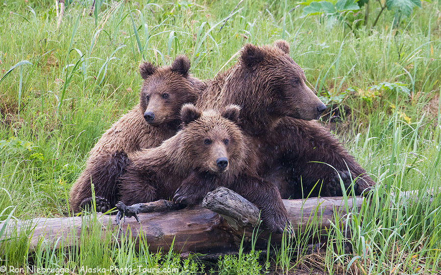 Brown bear sow with two third summer cubs.