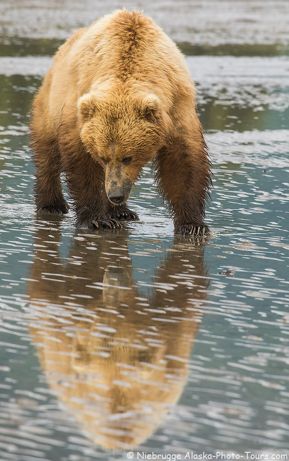A brown bear appearing to look at her reflection, Lake Clark National Park, Alaska.
