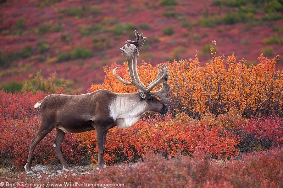 Bull caribou, Denali National Park, Alaska.