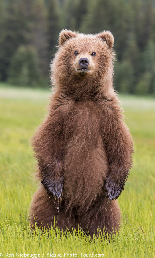Young brown bear, Alaska.