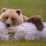 Brown Bear and Log