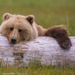 Brown Bear and Log