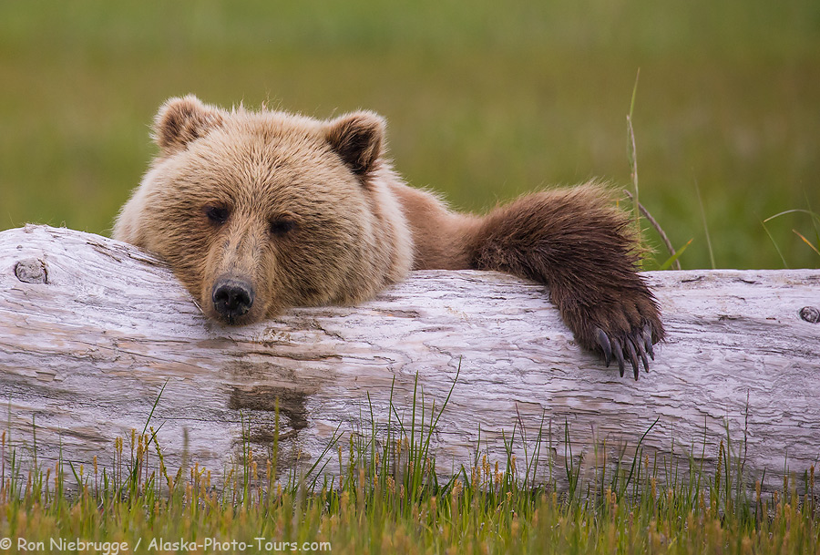 Brown bear sow sleeping on a log.