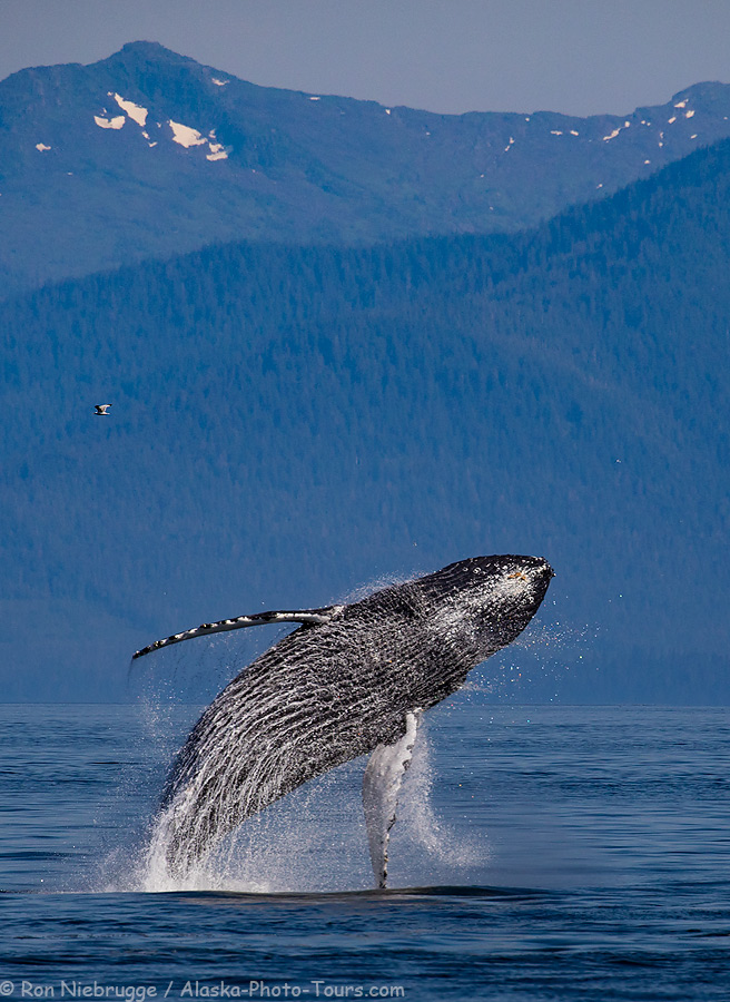 A breaching whale from last year's trip.