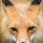 Red Fox Closeup