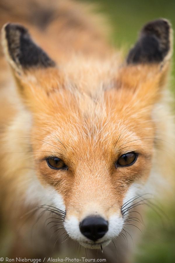 Wild red fox.