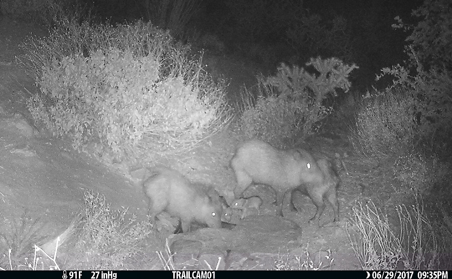 Javelina and at least two little babies.