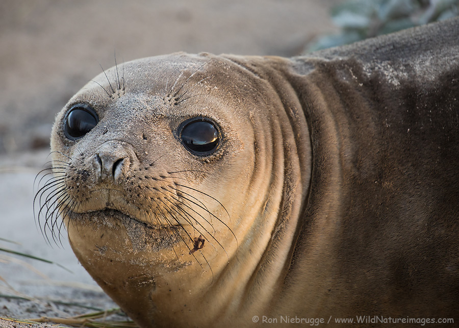 Southern elephant seal in morning light, Sea Lion Island, Falkland Islands.